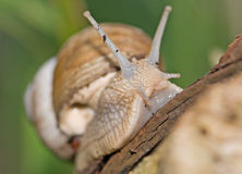 Snail on a log Stock Photography