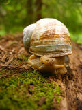 Snail on a log. Snail on a forest log Royalty Free Stock Photos