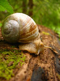 Snail on a log. Snail on a forest log Royalty Free Stock Images