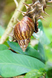Snail with a long spiral shell crawling on a branch with big thorns surrounded by green leaves Royalty Free Stock Photography