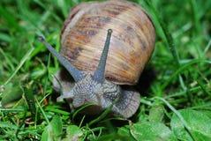 Snail look in camera Royalty Free Stock Photos