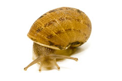 Snail looking at the camara Stock Photo
