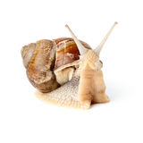 Snail looking at the camera. Isolated over white Stock Photography