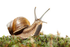 Snail looking from moss Stock Photography