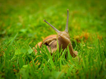 Snail looking out of the grass Royalty Free Stock Images