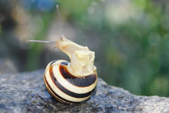 Snail looking out from it's house Royalty Free Stock Photos