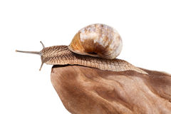 Snail looking from stone Royalty Free Stock Photos