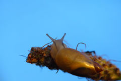 Snail looking to the sky. Blue background Royalty Free Stock Image