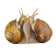 Snail in love Stock Images