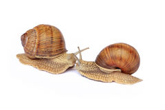 Snail love Royalty Free Stock Photography