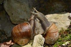 Snail Love Stock Image