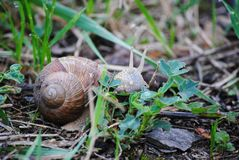 Snail that loves to walk in the morning stock photos