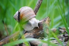 Snail that loves to walk in the morning royalty free stock photography