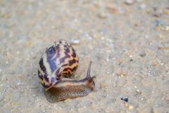 Snail poking head around from striped shell stock photos