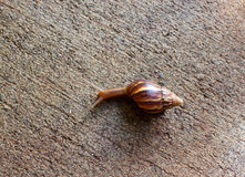Snail Macro. A hawaiian snail crawls along the ground in oahu hawaii Stock Photography