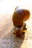 Snail Macro. A hawaiian snail crawls along the ground in oahu hawaii Royalty Free Stock Image