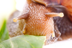 Snail Macro Royalty Free Stock Photo