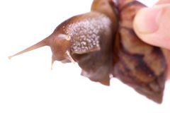 Snail macro Royalty Free Stock Photography