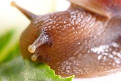 Snail macro Royalty Free Stock Photos