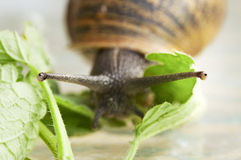 Snail in Macro. Image of a snail as he looks for something to eat. Whilst keeping an eye on the camera stock photos