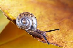 Snail macro Royalty Free Stock Images