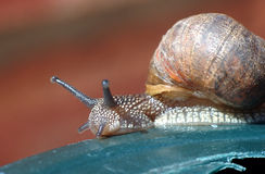 Snail macro. Macro shot of a snail Royalty Free Stock Photo