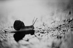Snail macro. Black and white snail close up Royalty Free Stock Photo