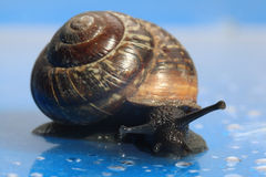 Snail macro Stock Images
