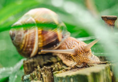 Snail. A macro snail  with grass and old  wood and a nail Stock Images