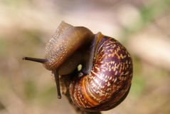 Snail macro shot Stock Images