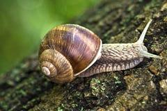 Snail macro Royalty Free Stock Photography