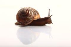 Snail macro Stock Photography