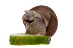 Snail med ett stycke av gurkan Arkivbilder