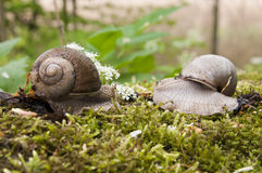 Snail meeting Royalty Free Stock Photo