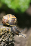 Snail on a mission. A common garden snail traversing the edge of a concrete paving stone. Close up detail Royalty Free Stock Photos