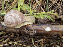 Snail. Molluscs from class representatives gastropods which have spiral shell Royalty Free Stock Photography