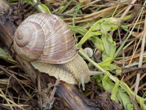 Snail. Molluscs from class representatives gastropods which have spiral shell Royalty Free Stock Images