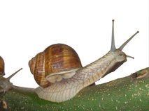 Snail. Mollusk moving on a branch Stock Photos