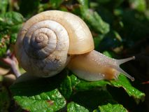 Snail in the morning detail Stock Image