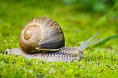 Snail on the moss Royalty Free Stock Photo