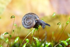 Snail on moss Royalty Free Stock Photography