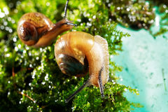 Snail on moss Royalty Free Stock Photos