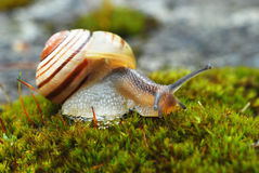 Snail on moss, Cepaea III. Stock Photo
