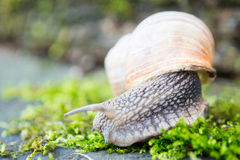 Snail in the moss Royalty Free Stock Photography