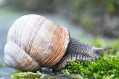 Snail in the moss Royalty Free Stock Photo