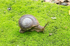 Snail in moss field Royalty Free Stock Image