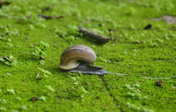 Snail on moss ground Royalty Free Stock Photo