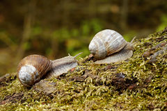 Snail on moss Stock Images