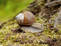 Snail on moss Royalty Free Stock Images