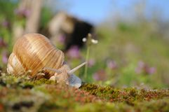 Snail on moss in garden in spring Royalty Free Stock Photo